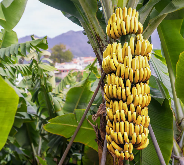 The Benefits of Bananas - Nutrition Facts